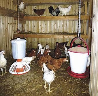 Чем кормить кур для хорошей яйценоскости в разное время года