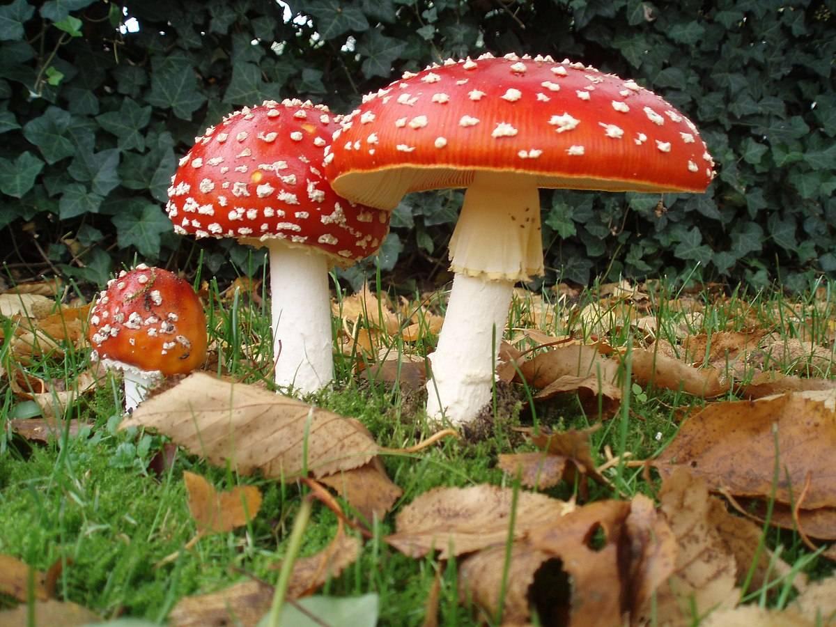Мухомор красный – смертельный гриб amanita muscaria