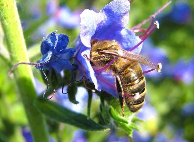 Список медоносных трав, деревьев и высеиваемых для пчёл. описание с фото и видео