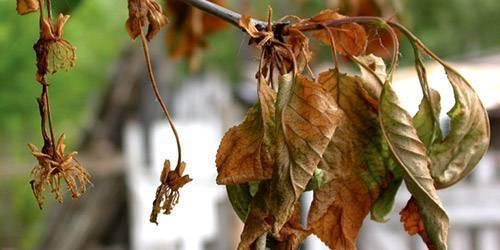 Вишня сохнет после цветения: причины, что делать, если засыхают ветки и листья