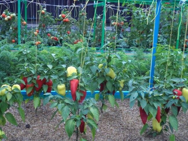 Выращивание перца в теплице – когда высаживать, схема посадки, уход, чтобы был хороший урожай
