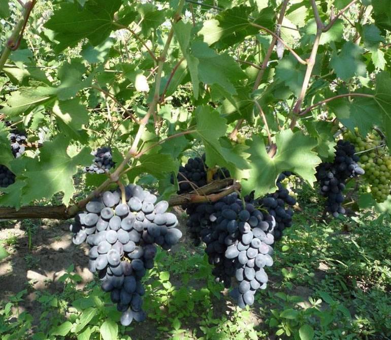 Виноград кодрянка, описание сорта: фото и отзывы, посадка и уход за виноградом