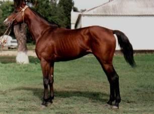 Чистокровные лошади (английская, арабская породы): характеристика, описание с фото, видео