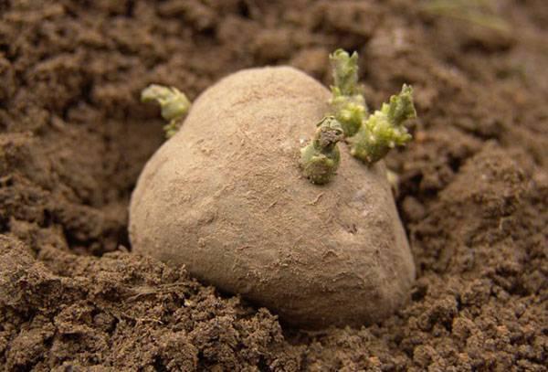 Проращивание картофеля перед посадкой: нужно ли проращивать клубни, как это делать правильно и быстро, сроки и описание процесса