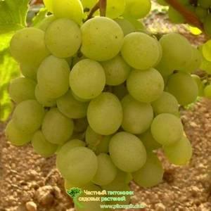 """""""винный"""" виноград: особенности выращивания, популярные сорта   садоводство и огородничество"""