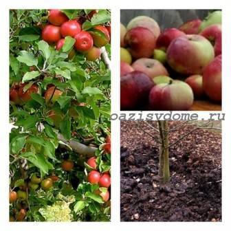 Подкормка яблони навозом: куда и как вносить удобрение под деревья