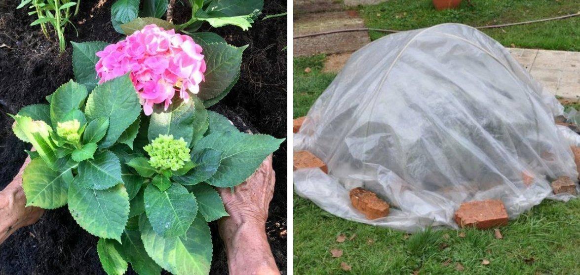 Пересадка садовой и комнатной гортензии: пошаговая инструкция