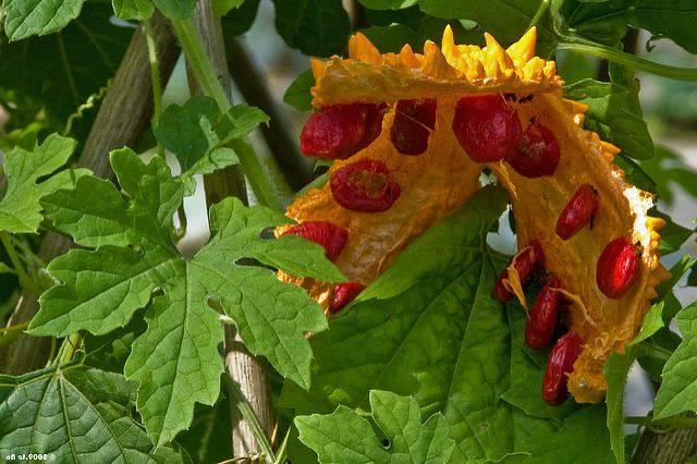 Необычные и экзотические виды огурцов для дачи - огород, сад, балкон - медиаплатформа миртесен