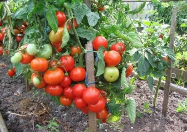 Томат видимо-невидимо — характеристика и описание сорта, урожайность, отзывы овощеводов