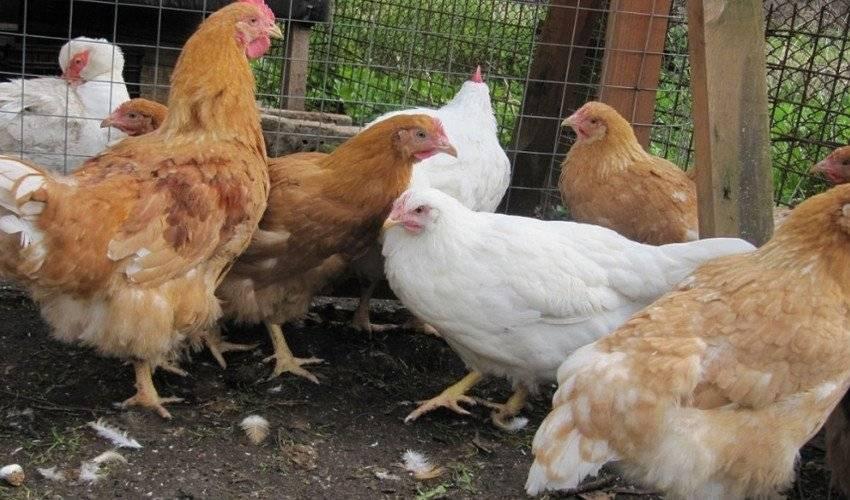✅ мини мясо порода кур. куры мини-мясные — палевые, описание породы - cvetochki-ulyanovsk.ru