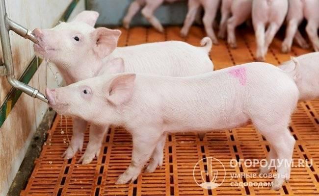 Поилки для свиней (27 фото): описание ниппельных и сосковых поилок для поросят, установка автопоилки и других видов своими руками