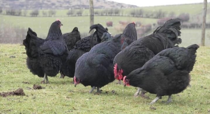 Московская черная курица - описание породы, фото