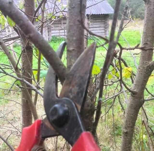 Как проводить обрезку плодовых деревьев: схемы и инструкция