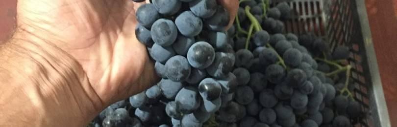 Виноград ливадийский черный - мир винограда - сайт для виноградарей и виноделов