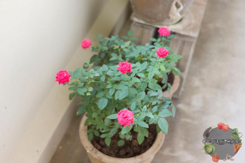 Китайская роза: о суевериях, приметах и выращивании