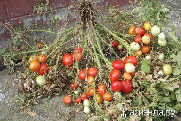 Томат японский карлик — описание сорта, фото, урожайность и отзывы садоводов