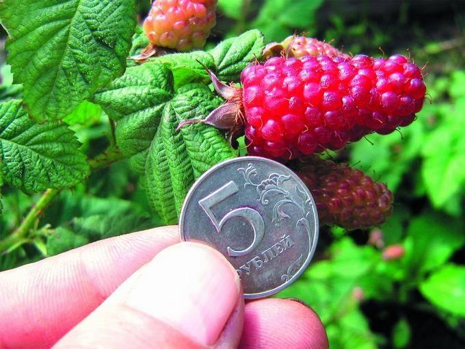Ежемалина: уход и выращивание, обрезка и пересадка, подготовка осенью к зиме