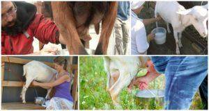 У козы после окота кровянистые выделения: причины и что делать?