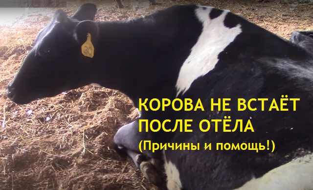Что делать, если корова упала послё отёла и не встает на ноги