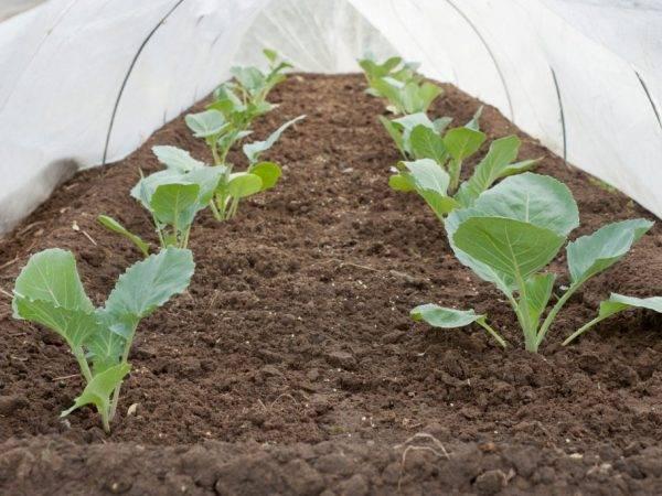 Почему у капусты фиолетовые листья и что делать, если они становятся другого цвета, например, синеют, чего не хватает овощу после высадки на грядке в открытый грунт?
