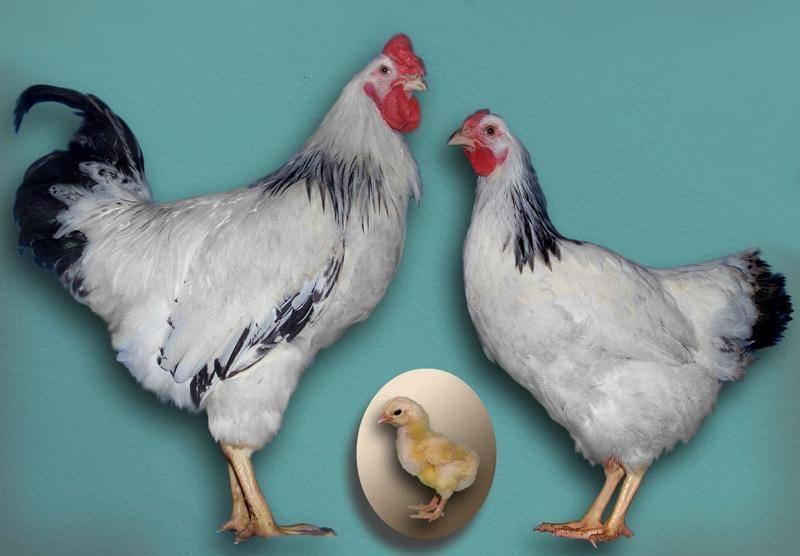 Первомайская порода кур: описание, содержание, уход и отзывы (+фото)