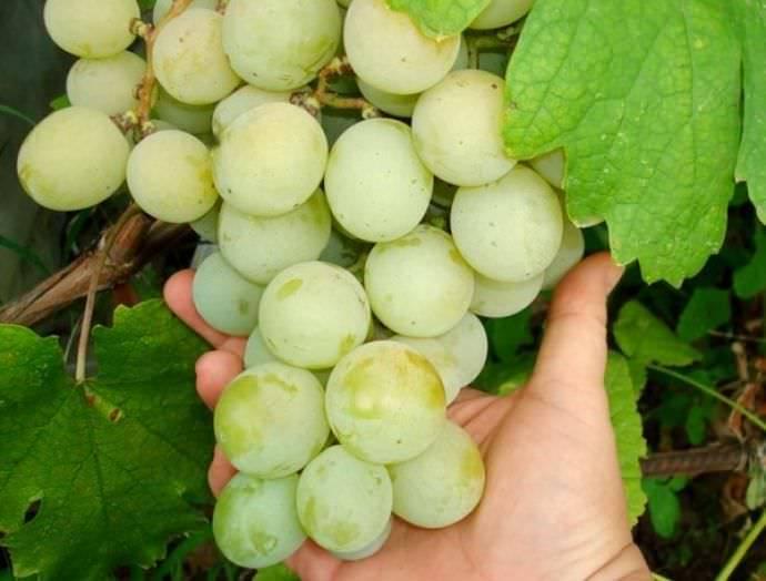 Сорт винограда лора – один из лучших вкусов, по мнению любителей и профессионалов