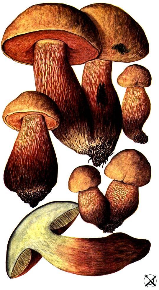 Гриб поддубовик (дубовик): фото и описание, приготовление