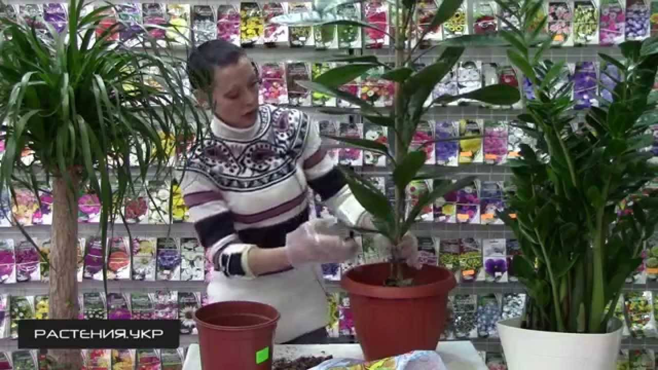 Пересадка фикуса в домашних условиях: подготовка и процесс | мир садоводства