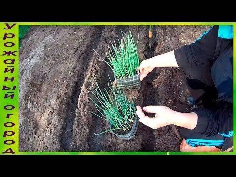 Выращивание лука эксибишен через рассаду и посадка семян сразу в открытый грунт, правила ухода для хорошего урожая