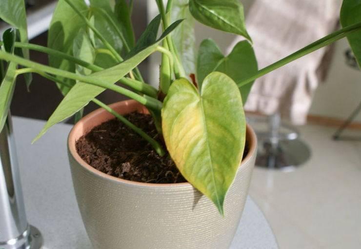 Желтеют листья у цветов - основные причины и пояснения как с этим бороться своими руками