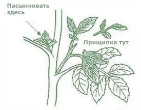 [инструкция] как пасынковать помидоры в теплице, грунте