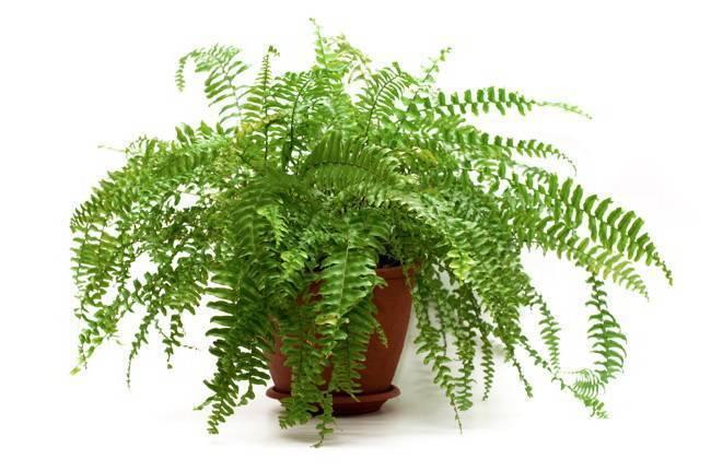 Адиантум - посадка основных видов и сложности содержания растения (130 фото и видео)