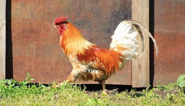 Цыплята без петуха: как долго курица несёт оплодотворённые яйца