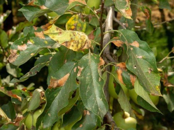 Ржавчина на листьях яблони – как бороться и описание заболевания