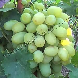 Виноград подарок запорожью: описание сорта, фото