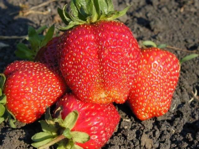 Клубника эльсанта – описание сорта, уход и выращивание