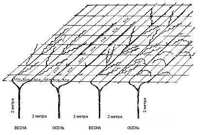 Формирование винограда в средней полосе и севернее. описание, схемы формировки — ботаничка.ru