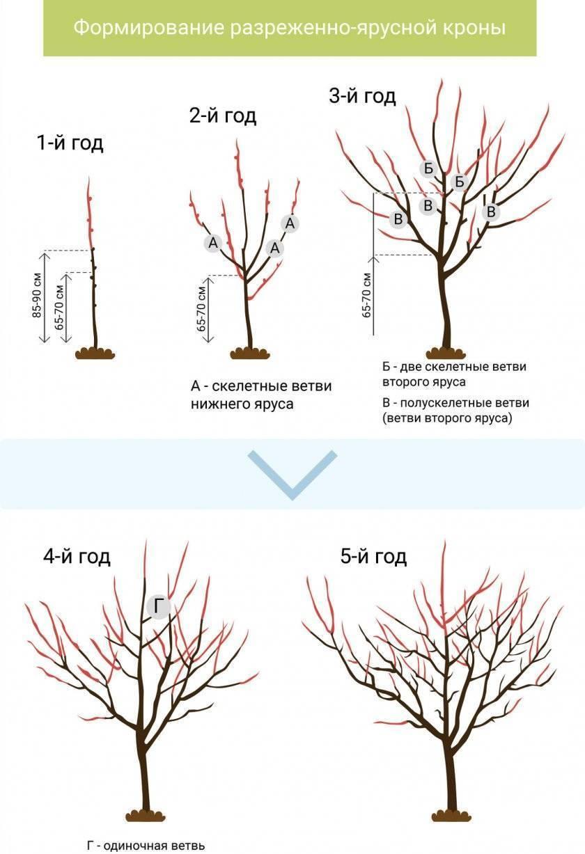 Обрезка колоновидных яблонь осенью для начинающих в картинках: фото пошагово, схемы