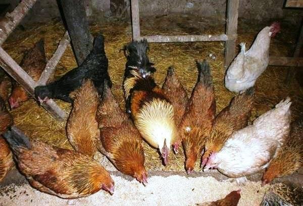 Как повысить яйценоскость кур в летнее и зимнее время
