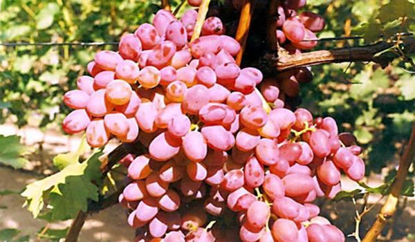 Описание сорта винограда кишмиш миднайт бьюти: фото и отзывы | vinograd-loza