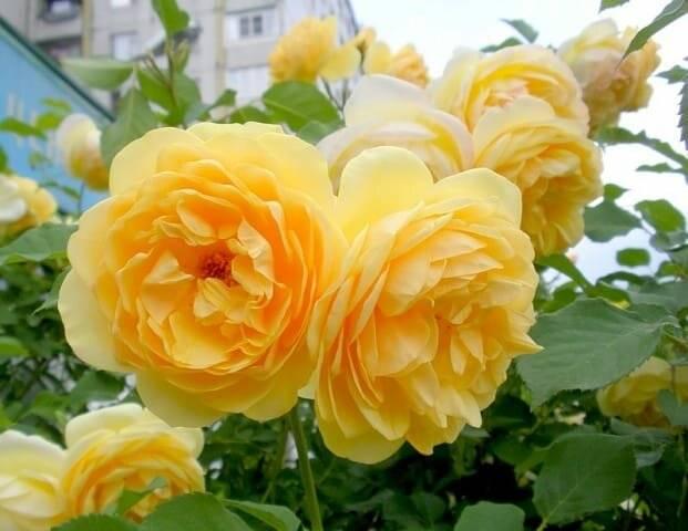 Пионовидные розы: фото, описание сортов. выращивание, уход