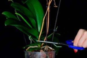 Орхидеи отцвели - что делать дальше, как ухаживать в домашних условиях, почему случилось слишком быстро, какая нужна подкормка: фото и видео перечисленных процессов