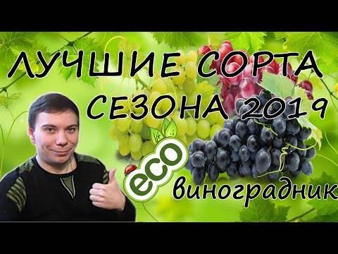 Виноград дюжина: описание сорта + видео