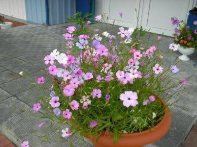 Вискария: посадка и уход в открытом грунте, фото оригинальных цветков