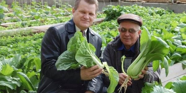Как происходит выращивание капусты пак чой в домашних условиях