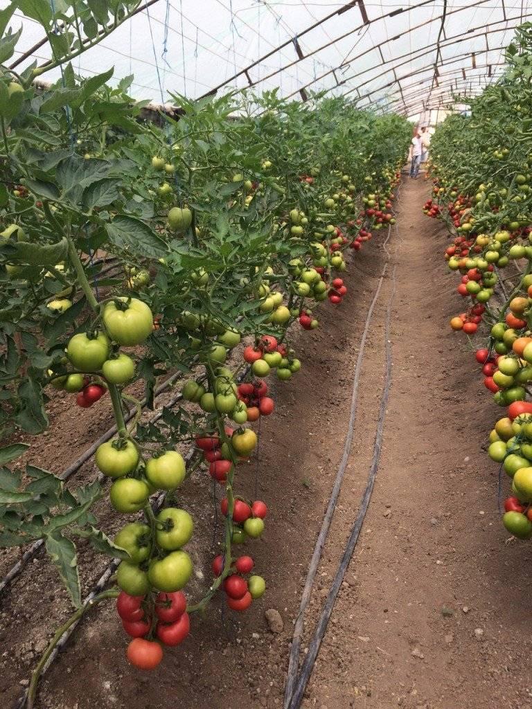 """Томат """"пинк парадайз"""" f1: описание и характеристики, урожайность сорта, рекомендации по уходу и выращиванию, фото помидор русский фермер"""