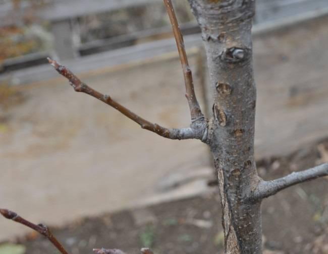 Почему не цветет груша - сельская жизнь