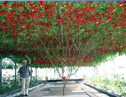 Помидорное дерево: выращивание в открытом грунте и уход за ним
