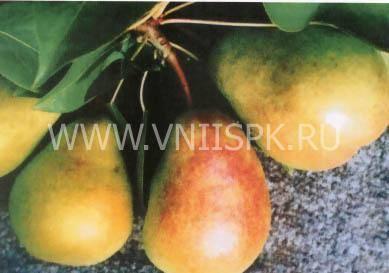 Груша сказочная: описание сорта, особенности выращивания