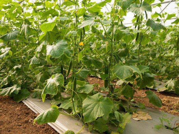 Посадка огурцов в открытый грунт семенами и рассадой: когда и как сажать